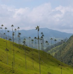 Valle de Cocora - dolina palm woskowych